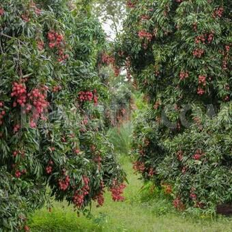 Выращивание личи в саду 87