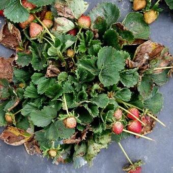 Борьба с вредителями клубники осенью