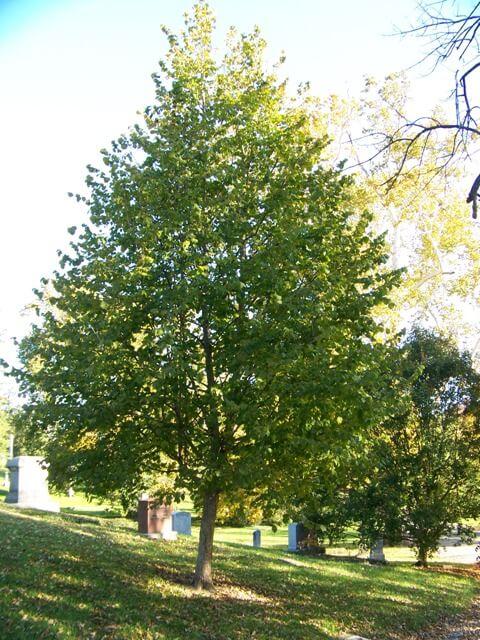 Орешник это дерево или кустарник ответ