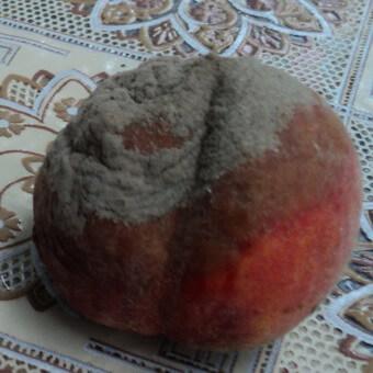 Персик: болезни и вредители с фото, борьба с вредителями и лечение болезней
