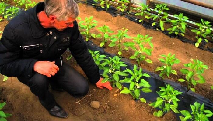 Выращивание перца болгарского в грунте 100