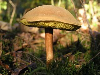 гриб моховик фото и описание