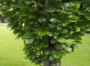 Дерево бук фото и описание где растет