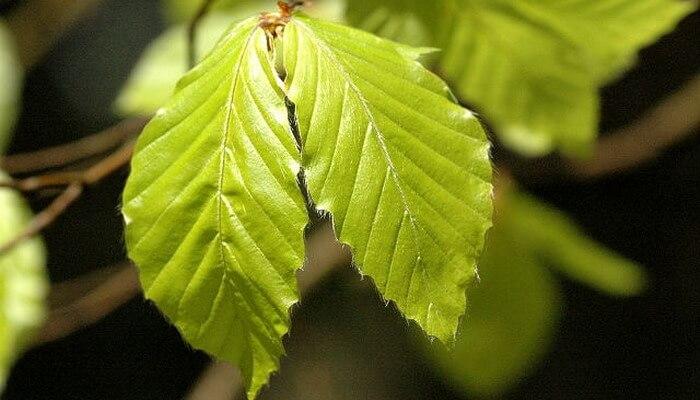Дерево бук лесной: фото, описание и свойства, где растет бук лесной