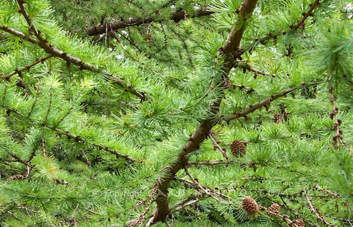 лиственница виды