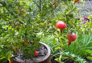 Гранат домашний фото и выращивание из