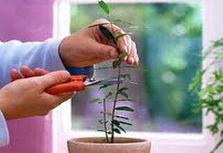 Домашний гранат в домашних условиях: выращивание из косточки, уход
