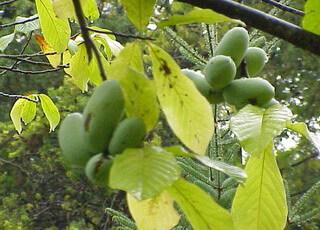 Банановое дерево выращивание и сорта