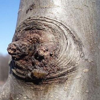 Груша колоновидная