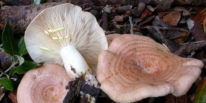 съедобные грибы млечники фото