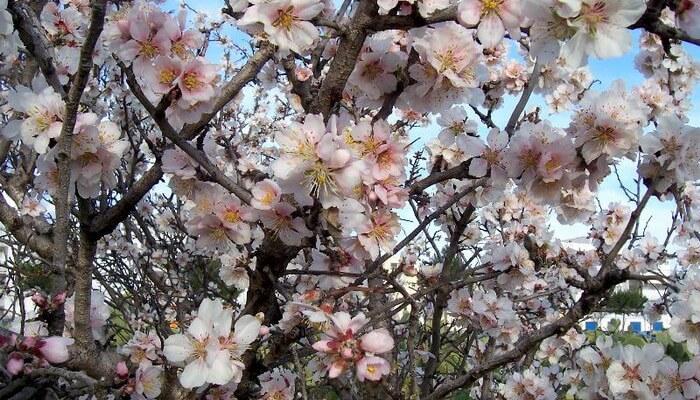 Мигдальне дерево фото