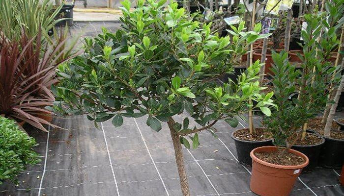 Земляничное дерево из семян выращивание 125