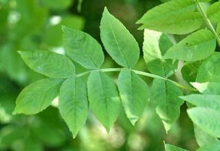 Ясень фото листьев