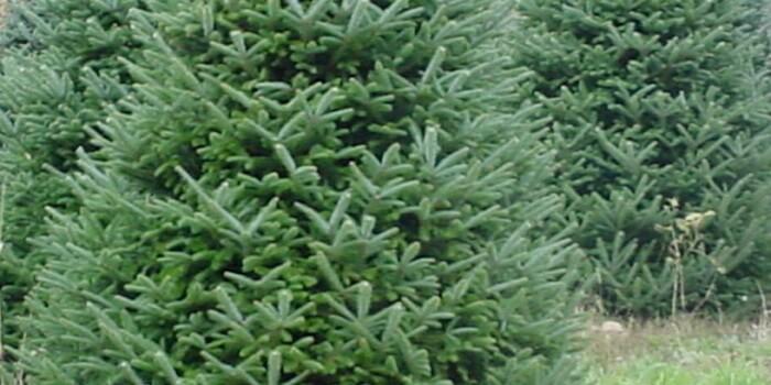 Chamaecyparis thyoides red star