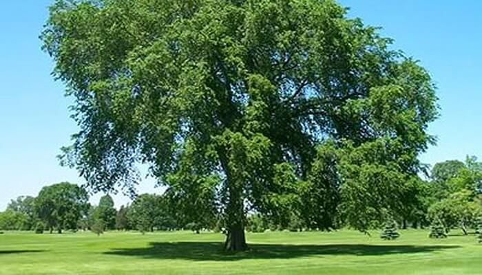 Картинки по запросу дерево Вяз