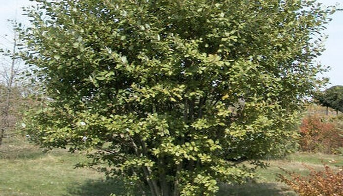 Ива осенью