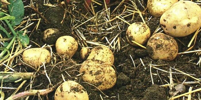 Картофель выращивание и болезни 49