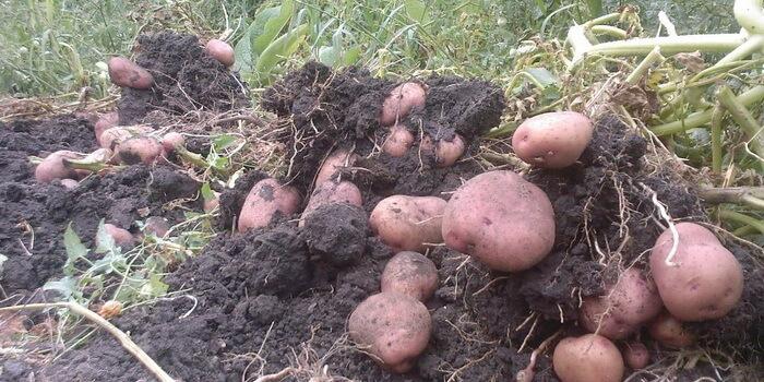 Картофель выращивание и болезни 56