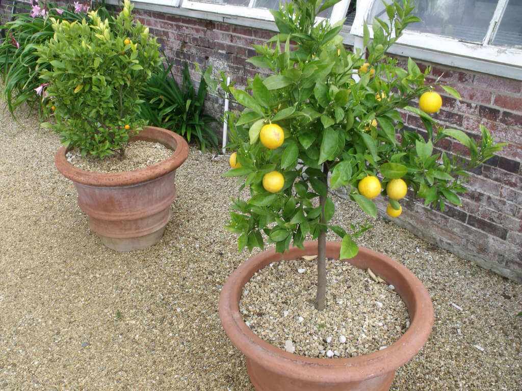 Лимон родина