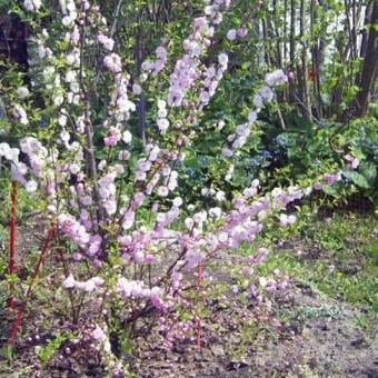 Сакура посадка и уход в открытом грунте в сибири