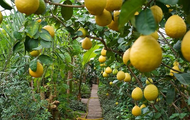 Как ухаживать за деревом лимонным