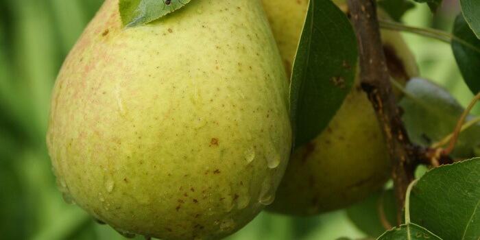 Самая вкусная ранняя груша