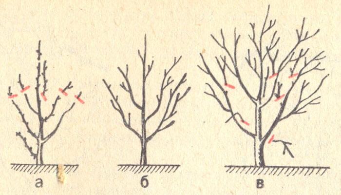 Обрезка молодой вишни должна