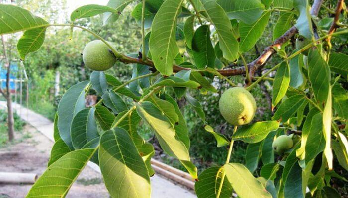 «Изящный» - дерево высотой 4-5