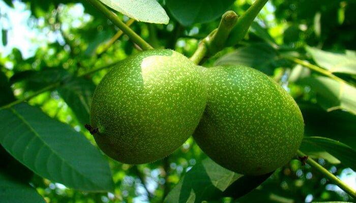 Сорт грецкого ореха «Великан»