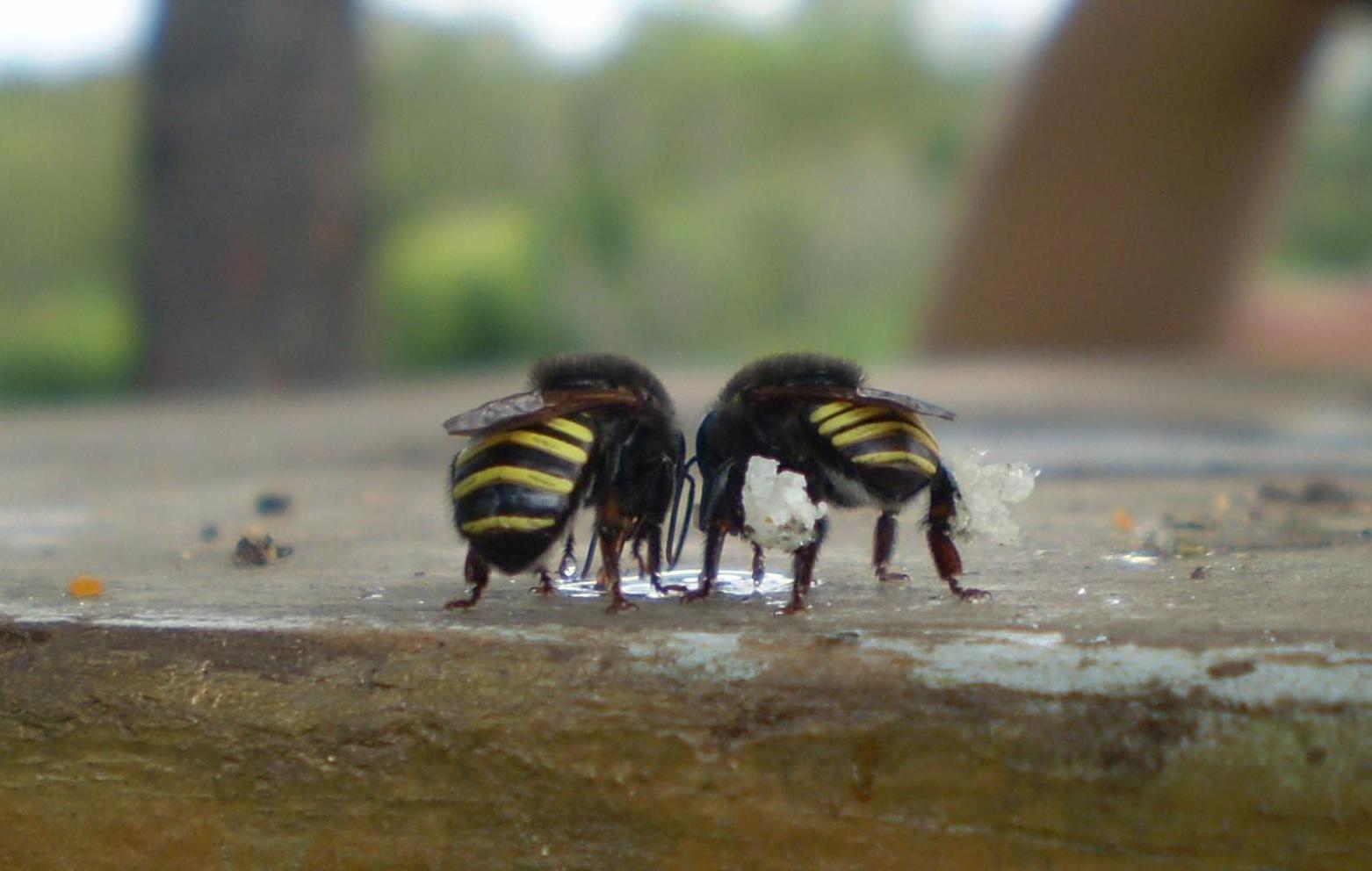 Пчелы мелипоны