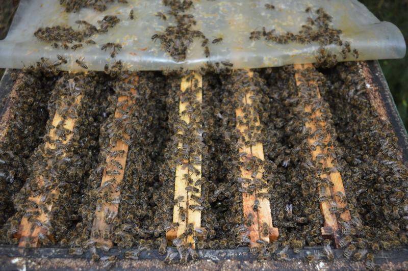 Пчелы бакфаст, пример 2
