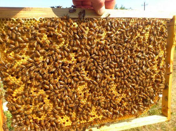 Пчелы бакфаст пример 1