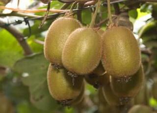 Растение актинидия: описание и фото