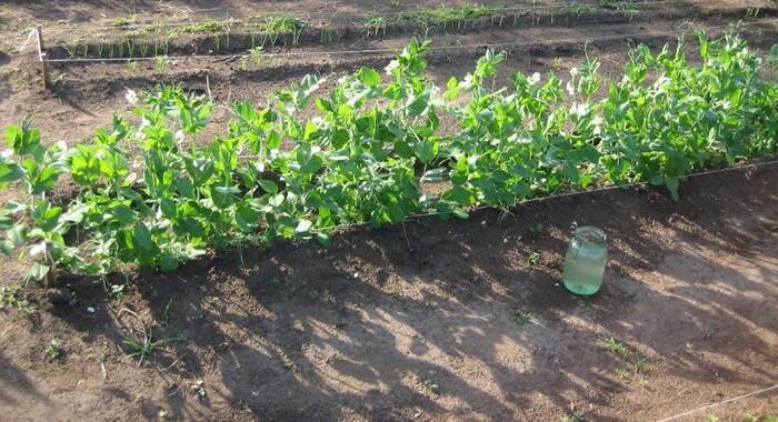 Выращивание и уход за горохом 637