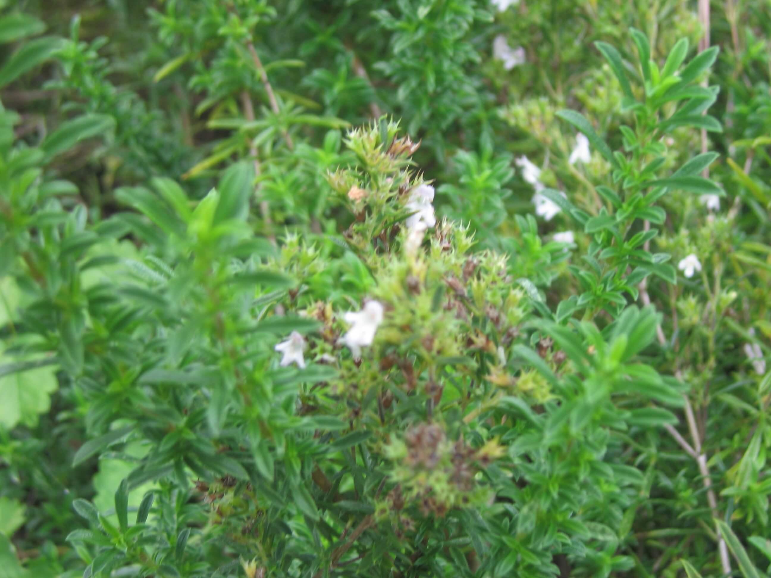 Чабер садовый выращивание из семян 62