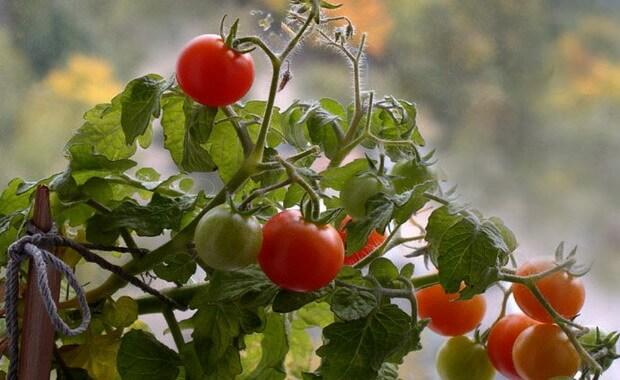 Сибирский сад семена томатов и важные