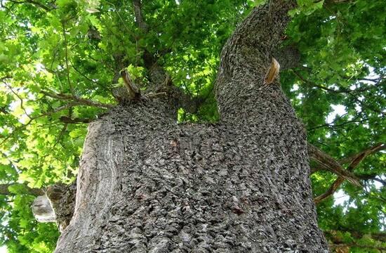 Дуб это дерево или растение