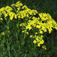 Полевые цветы крыма названия и фото