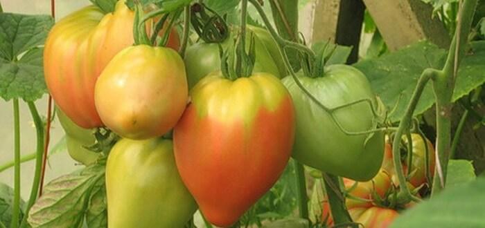 ... , низкорослые и сладкие сорта томатов: www.udec.ru/tomat/new-sorta-tomatov.php