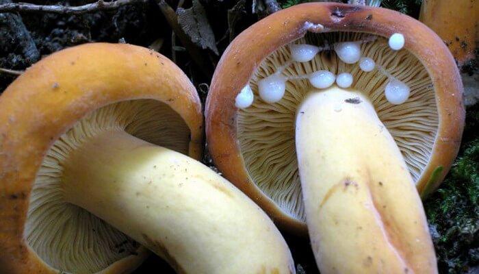 молочай фото гриб