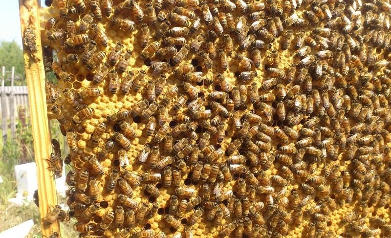Пчелы бакфаст, пример 3
