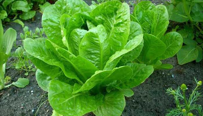 Салат листовые