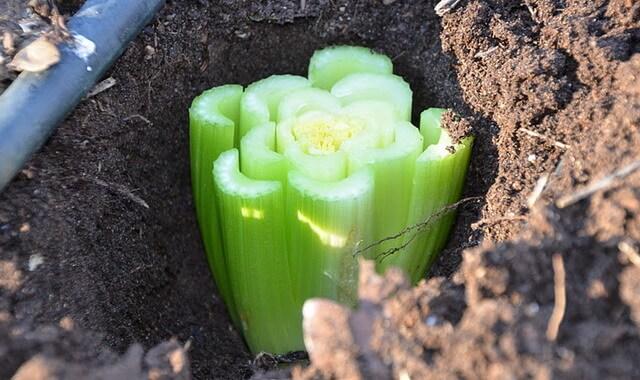 Сельдерей черешковый в сибири выращивание и уход 17