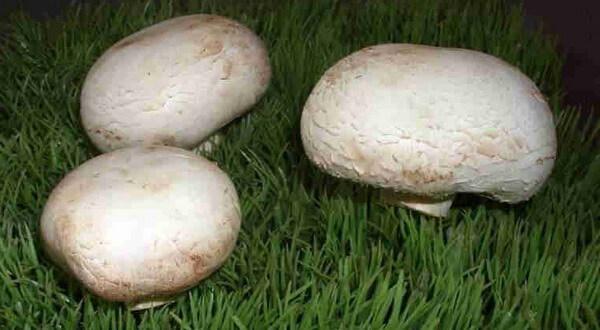 фото грибы лесной шампиньон