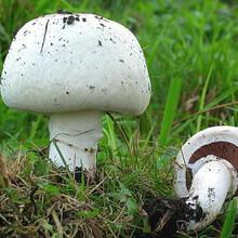 лесные грибы шампиньоны фото