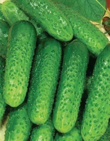 Какие сорта огурцов лучше сажать в открытый грунт для засолки