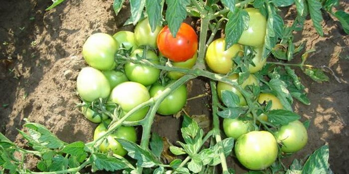 томат иван купала фото отзывы