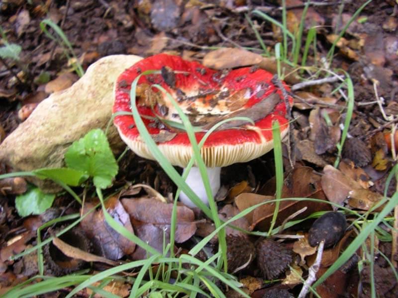 как выглядят грибы сыроежки фото