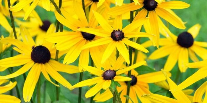 фото топинамбура цветы