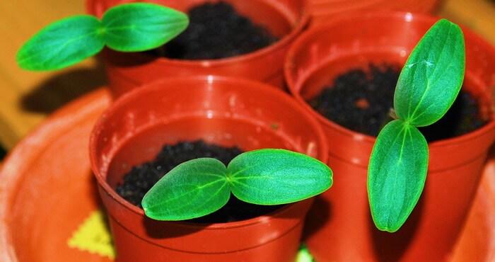 Выращивание огурцов в домашних условиях: зимой дома или круглый год на балконе
